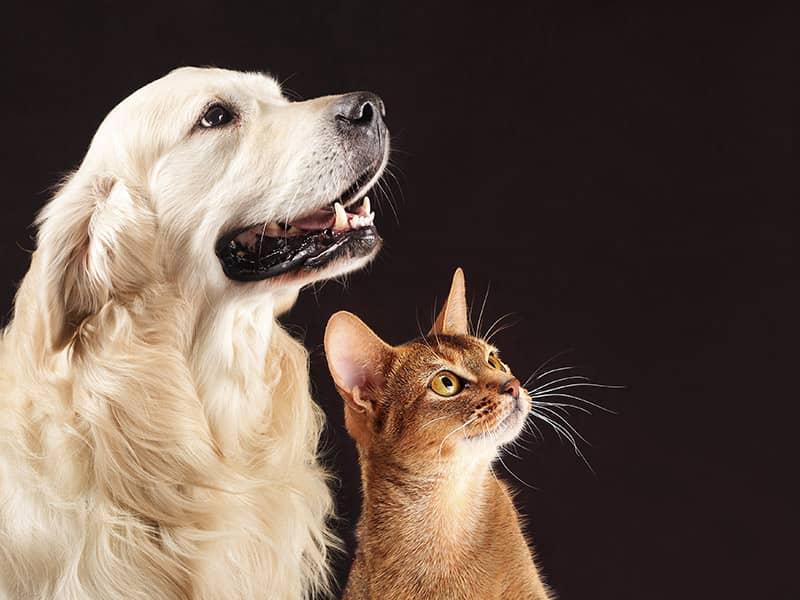 ¿Es posible la Custodia compartida de las mascotas en los procesos de divorcio?
